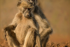 Baboons at Waterhole