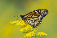 Monarch on Canadian Goldenrod
